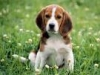 Beagle-Dog-adult-young