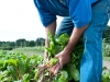 picking-swiss-chard-in-field