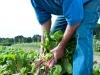 picking-swiss-chard-in-field